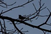 Bird_silhouette