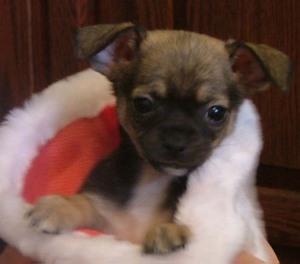 Christmaspuppy1